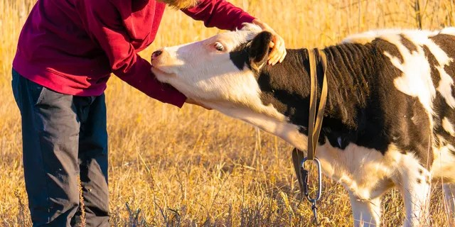 A 2007 study suggested that the practice, which is catching on in the U.S. and Switzerland, benefits the cows as well as the humans.