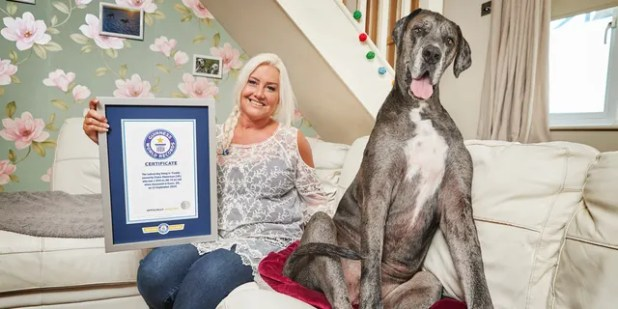 The 8 and a half year old Great Dane was 3 feet 4 inches tall from foot to withers.  (Photo Credit: Paul Michael Hughes / Guinness World Records)