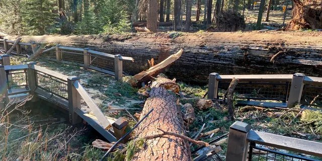 This boardwalk in the Mariposa Grove in Yosemite National Park was damaged by a fallen ponderosa pine during the Mono wind event on Tuesday. (Yosemite National Park via AP)