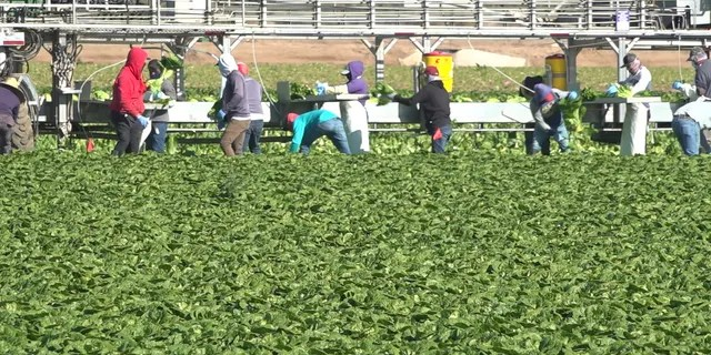Hundreds of workers are busy harvesting lettuce this time of year.From November to April, these farms grow about 90% of the U.S. and Canadas supply of romaine and iceberg lettuce. (Stephanie Bennett/Fox News).