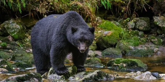 Black bears look for food that trail users bring with them this time of year.
