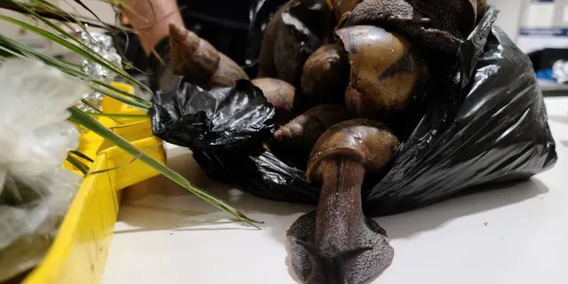 """Giant African Snails are """"highly invasive."""" CBP said. They eat at least 500 types of plants and can cause damage to stucco and plaster structures."""