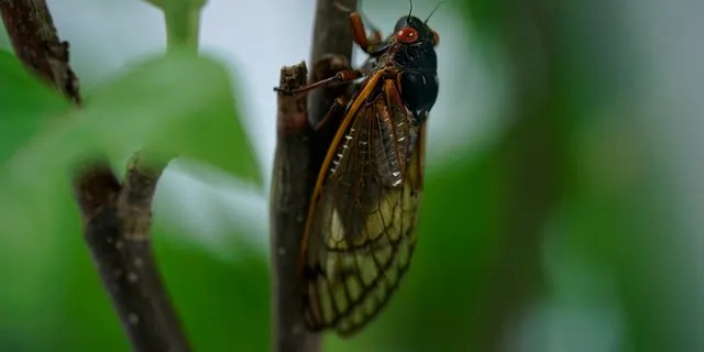 An adult cicada in Washington, Thursday, May 6, 2021. Trillions of cicadas are about to emerge from 15 states in the U.S. East. The cicadas of Brood X, trillions of red-eyed bugs singing loud sci-fi-sounding songs, can seem downright creepy. Especially since they come out from underground only every 17 years. (AP Photo/Carolyn Kaster)