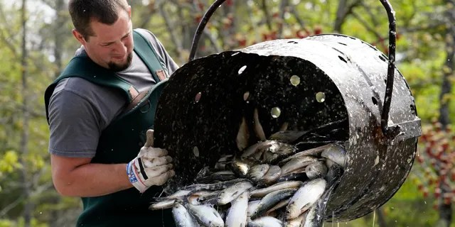 Dustin Young unloads a barrel of alewives, during a harvest, Sunday, May 16, 2021, in Franklin, Maine. The fish are sold as bait to commercial fishermen. (AP Photo/Robert F. Bukaty)