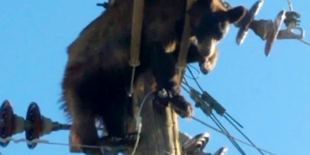 This photo provided by Werner Neubauer shows a bear tangled in power pole wires in Willcox, Arizona, Monday, June 7, 2021. (Courtesy of Werner Neubauer via AP)