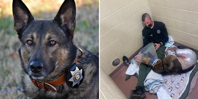 K-9 Nikos, pictured right with his handler Deputy Ryan Humburg, was released from the vet Monday to continue his recovery at home.