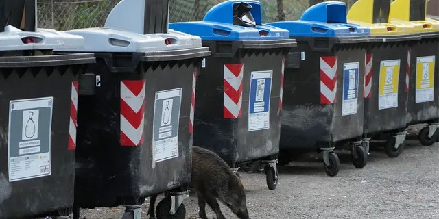 A wild boars strolling past trash bins in Rome on Sept. 24.