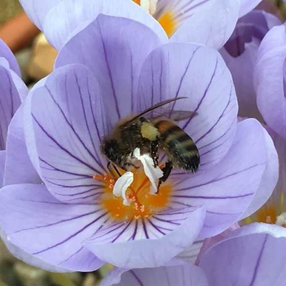 Buy Grow your own saffron - saffron crocus bulbs Crocus ...