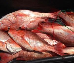 alabama red snapper fishing trips orange beach gulf shores al