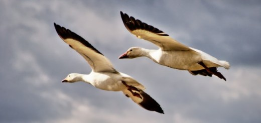Flock-of-Two