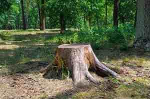 removing stumps