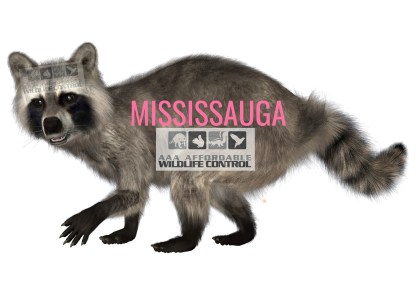 Wildlife Control, Wildlife Removal, Animal Removal, Toronto Wildlife Control, Wildlife Removal Mississauga - Greater Toronto Area Wildlife Removal Services.