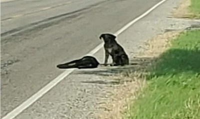 كلب يرفض ترك جثة شقيقته على طريق سريع
