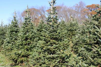 a picture of a row of Fraser Fir trees