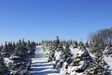 picture of a Christmas tree (or xmas tree) in snow