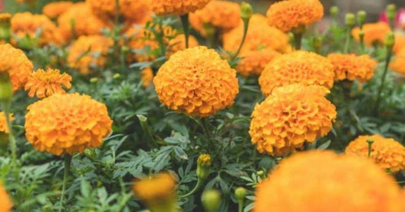 गेंदे के फूल से बने इन हेयर पैक्स से बढ़ाएं बालों की खूबसूरती