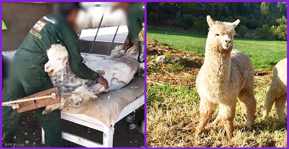 Links: Ein Alpaka schreit vor Panik beim Scheren. Rechts: Ein Alpaka in Freiheit