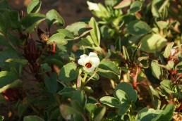 Fleur blanche de bissap