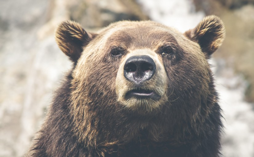 Grizzly Bear Head Shot