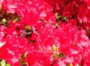 Bumble bee foraging in azaleas