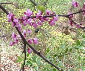 Blue Mason bee foraging in redbud blossoms