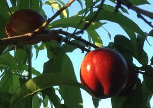Arrington nectarines