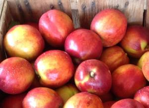 Crate of Westbrook nectarines headed to market