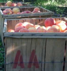 Crates of Redhaven peaches