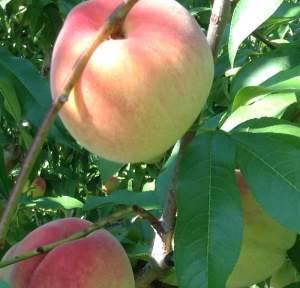 Nectar peaches
