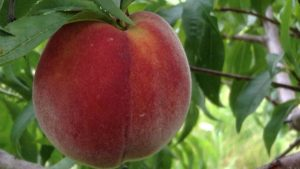 Ripe Cresthaven peach hangs from tree branch.