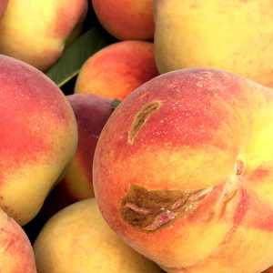 """""""Ugly"""" second Red Haven peaches"""