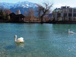 Swan in the glacier water