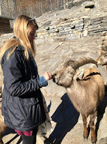 Feeding the ibex