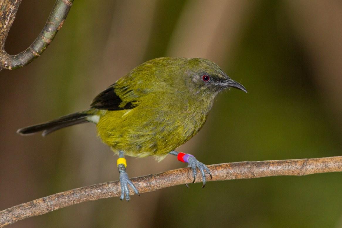 bellbird-8