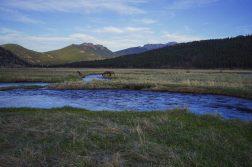 Elk Crossing The River In Moraine Park