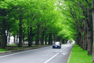 Sapporo travel guide, hokkaido university, ginko avenue