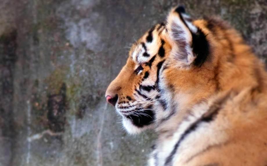 Resting Tiger, Hidden…