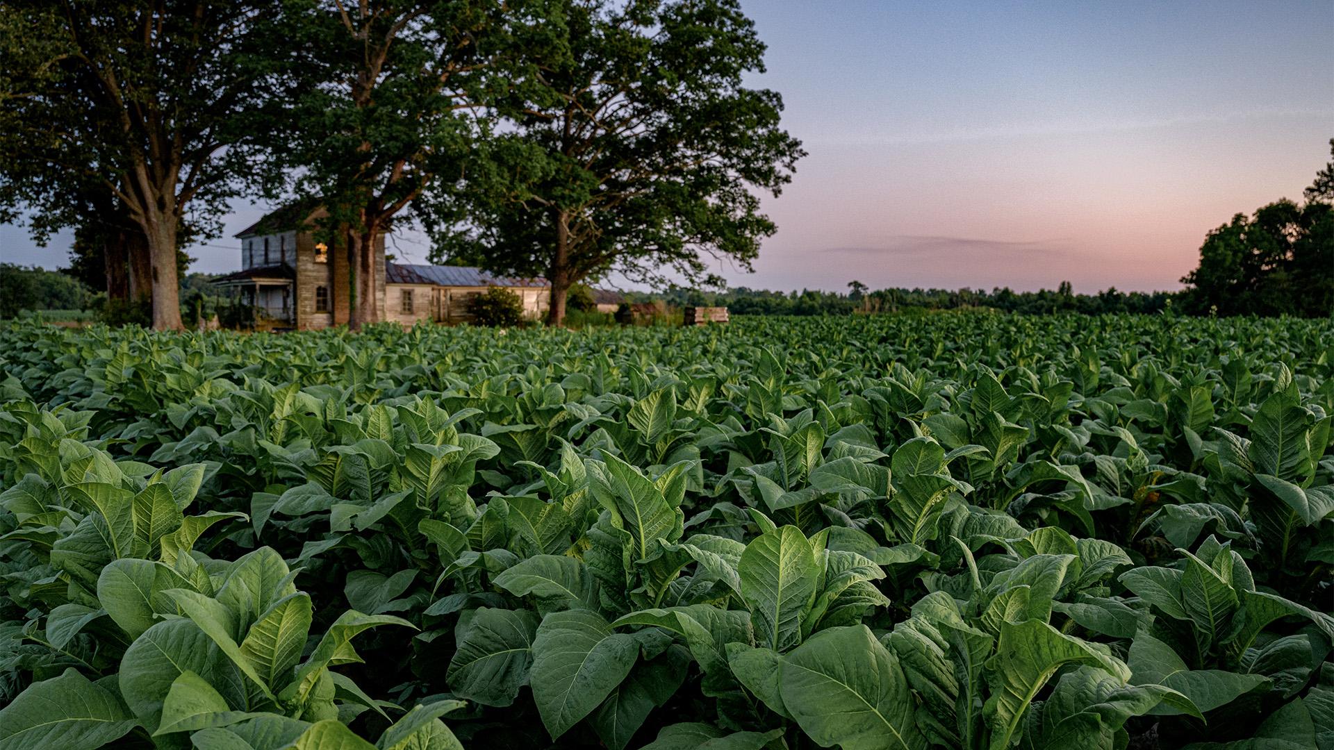 Pitt County Tobacco