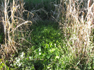 Some super benifical fallplanted cover crop plants