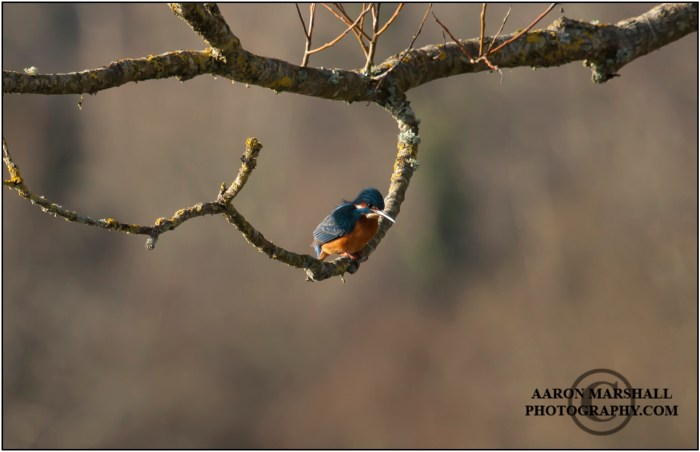 King fisher for web AM