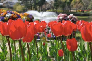 tulipas park kiso gifu japao-11