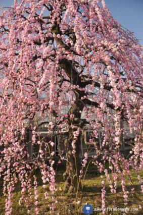 Shidare Ume Nagoya japao rosa