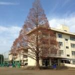 上鶴間中学校のメタセコイア