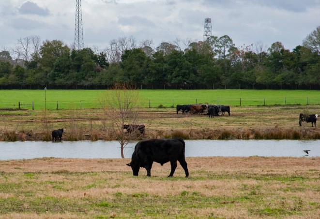 Cows graze in a pasture in front of Lakeside.