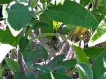 First line of defence hanging out in my sage; actually there are two of them there.