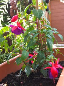 Yay, after all the abuse, my fuschia was able to rally and put out new blooms!
