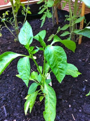 Even the tiniest of the bunch (bell pepper) is trying to bloom - awww, how cute!