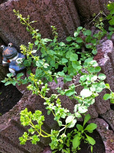 Oregano is flourishing so well, it's trying to put out flowers!