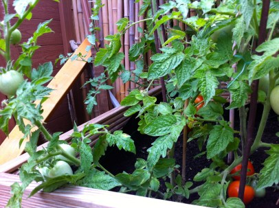 The Jani tomatoes are also joining in the fun.