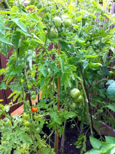It's been work keeping up with the quick growing cocktail tomatoes and I'm still waiting for a few ripe Green Zebras.
